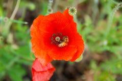 Amapola roja con una abeja Imagen de archivo