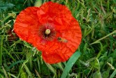 Amapola roja con una abeja Fotografía de archivo