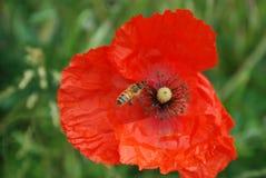 Amapola roja con una abeja Imagenes de archivo