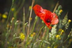 Amapola roja en campo de flor salvaje Fotos de archivo libres de regalías