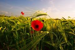 Amapola roja en campo de la cebada Fotos de archivo