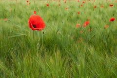 Amapola roja en el campo Fotografía de archivo libre de regalías