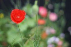 Amapola roja en el campo Foto de archivo