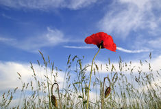 Amapola roja en el cielo azul Fotos de archivo