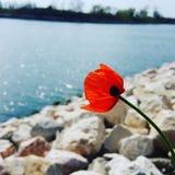 Amapola roja en el mar imagen de archivo