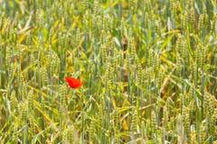 Amapola roja en el trigo Imagen de archivo libre de regalías