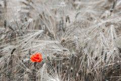 Amapola roja en el trigo Fotografía de archivo libre de regalías
