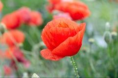 Amapola roja en un campo Foto de archivo