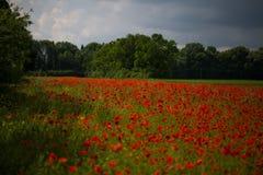 Amapola roja en un campo de la amapola, Imagen de archivo libre de regalías
