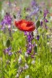 Amapola roja en un campo de las flores salvajes del verano imagenes de archivo