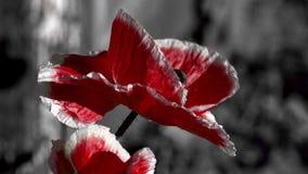 Amapola roja en un fondo negro El insecto agita alrededor de la flor Poniendo en contraste, color rojo en un fondo negro almacen de metraje de vídeo
