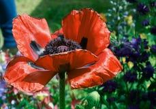 Amapola roja grande imagen de archivo