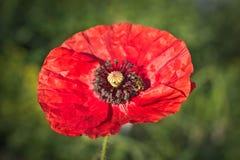 Amapola roja hermosa con una abeja Fotografía de archivo
