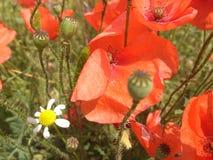 amapola roja, rhoeas del Papaver Imagen de archivo libre de regalías