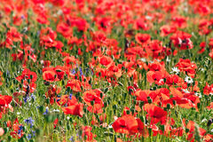 Amapola roja salvaje Fotos de archivo libres de regalías