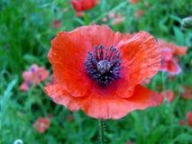 Amapola roja salvaje Imagenes de archivo