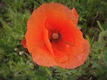 Amapola roja salvaje foto de archivo libre de regalías
