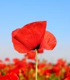 Amapola roja y cielo azul Fotos de archivo libres de regalías