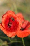 Amapola roja y una abeja Imagenes de archivo