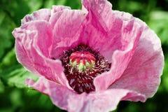 Amapola rosada Imágenes de archivo libres de regalías