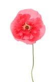 Amapola rosada Fotografía de archivo libre de regalías