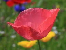 Amapola rosada Fotos de archivo