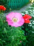 Amapola rosada Foto de archivo