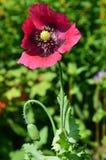 Amapola rosada foto de archivo libre de regalías
