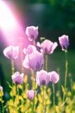Amapola rosada aligerada por la sol Fotografía de archivo libre de regalías