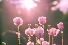 Amapola rosada aligerada por la sol Imagen de archivo libre de regalías
