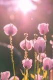 Amapola rosada aligerada por la sol Fotos de archivo libres de regalías