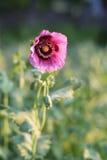 Amapola rosada en el campo fotos de archivo