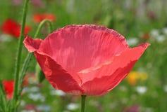 Amapola rosada en prado Foto de archivo libre de regalías