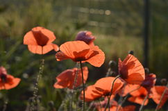 Amapola salvaje floreciente Imagen de archivo libre de regalías