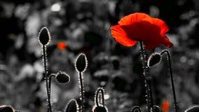 Amapola sola Fondo rojo y negro Rojo, blando, aire, amapola vivificante metrajes