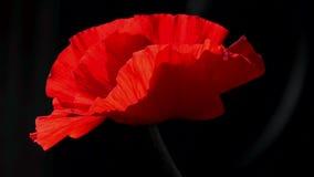 Amapola sola Fondo rojo y negro Rojo, blando, aire, amapola vivificante almacen de metraje de vídeo