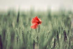 Amapola solitaria en un campo Fotografía de archivo libre de regalías