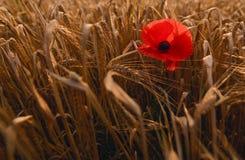 Amapola solitaria en un campo de la cebada Imagenes de archivo
