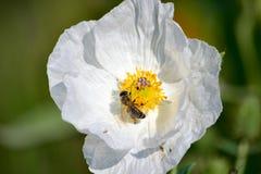 Amapola y abeja Fotos de archivo libres de regalías