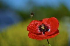 Amapola y abeja Imagen de archivo