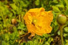 Amapola y abeja amarillas Fotografía de archivo