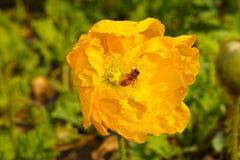 Amapola y abeja amarillas Imagen de archivo libre de regalías
