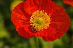 Amapola y abeja rojas Foto de archivo