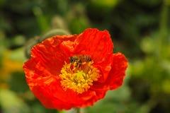 Amapola y abeja rojas Fotos de archivo libres de regalías