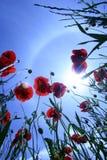 Amapola y cielo Imagen de archivo libre de regalías