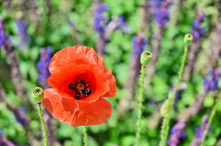 Amapola y flores salvajes Imagen de archivo libre de regalías