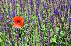Amapola y flores salvajes Fotos de archivo libres de regalías