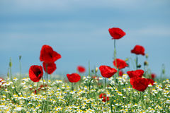 Amapola y manzanilla rojas Fotografía de archivo libre de regalías