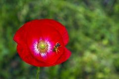 Amapola y una abeja en un fondo verde Imágenes de archivo libres de regalías