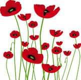 Amapolas. Poppy in spring with white background Stock Photos